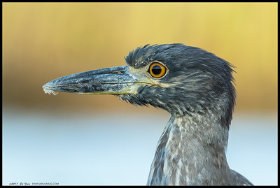 Portrait of a first year Yellow Crown Night Heron.  Had to get a little dirty, pulling the camera off the gimbal and dropping flat to get the yellowish green pickleweed and reeds still catching the sun behind this guy.