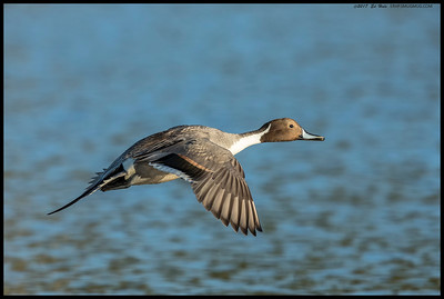 Northern Pintail in flight over the slough.