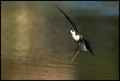 Black Necked Stilt coming in for a landing.