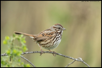 A perched Song Sparrow.