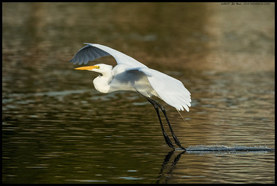 A Great Egret dragging its talons in the water across the slough.