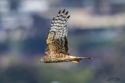 Northern Harrier on what seemed to be a continuous search for lunch.  Their ability to maneuver is nothing short of impressive.  Today's 80F+ temperatures really didn't help with distance photography though.