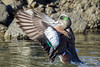 An American Wigeon finishes the preening routine before heading back to his mate.
