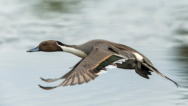 Male Northern Pintail took flight after his mate.