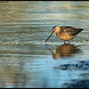 Thinking this matches the Short Billed Dowitcher in faded breeding plumage best but meh.
