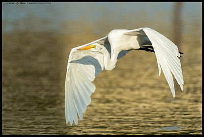 This Great Egret had taken off to get away from a challenger.