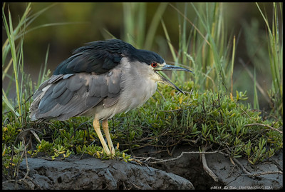 Black Crowned Night Heron warning a pair juvenile Snowy Egrets that bad things would happen.