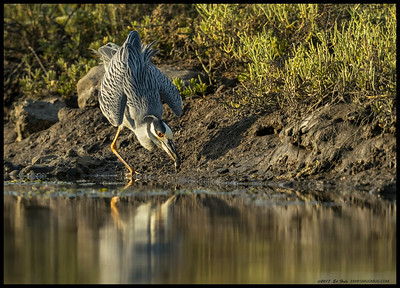 A Yellow Crowned Night Heron performing a skillful display of the one legged crab grab.