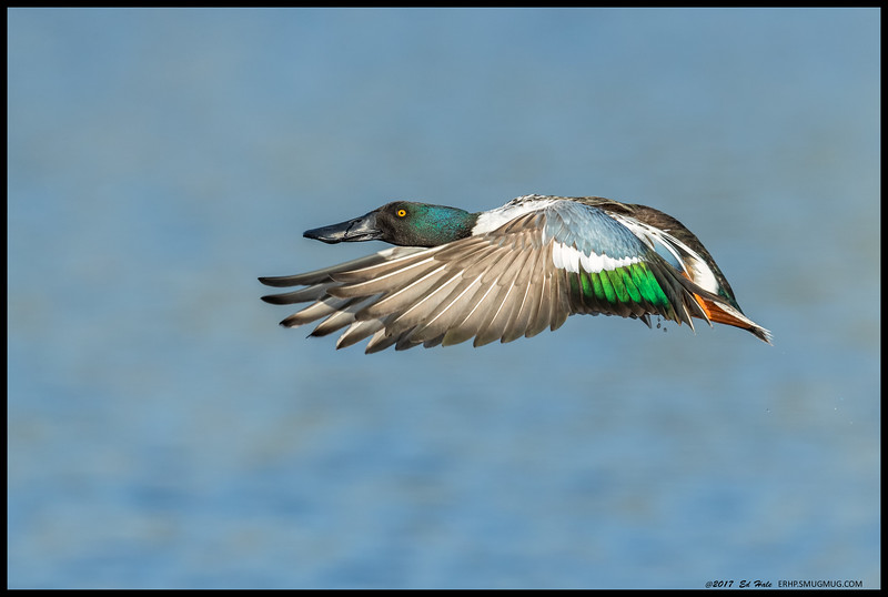 Northern Shoveler making a break for the other side of the slough.