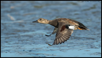 Male Gadwall in a hurry to leave.