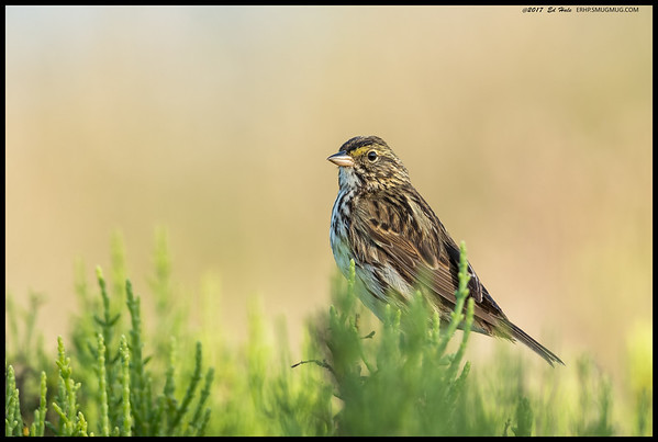A Savannah Sparrow set down on the pickleweed in front me.