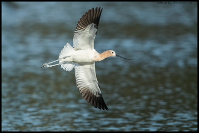One of the American Avocets in breeding plumage doing an aerial display.
