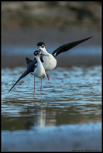Black Necked Stilts crossing bills.
