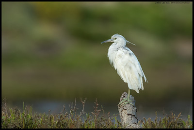 Juvenile Little Blue Heron in the middle of a preening session.  Looking a little more mottled now.