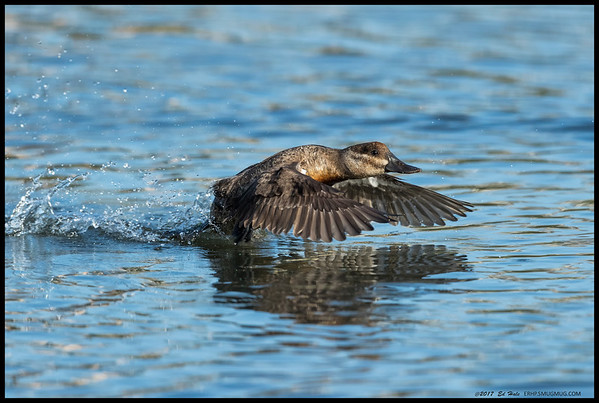 Female Ruddy Duck in a hurry to catch up with the rest of the group.