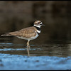 While I was sitting down behind the camera in the mud, this Killdeer came in and wandered up and down the patch of mud in front of me.