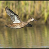 Female Blue Winged Teal late for a date.