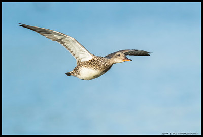 Female Gadwall in flight.
