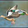 Male Northern Shoveler just after takeoff with his mate rising to join him.