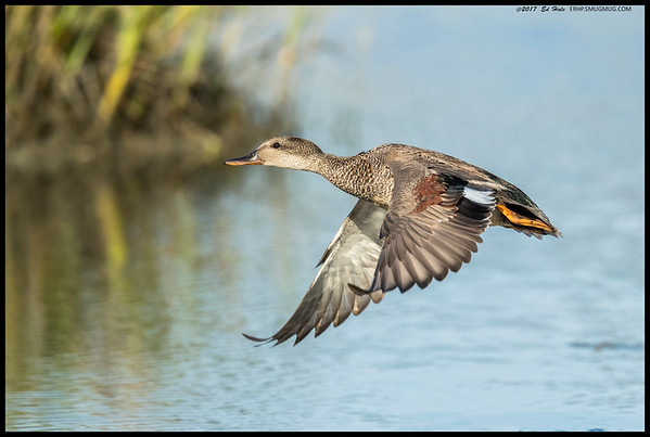 Found a pair of Gadwall's at the slough, even though the rest of them seem to have headed north already.