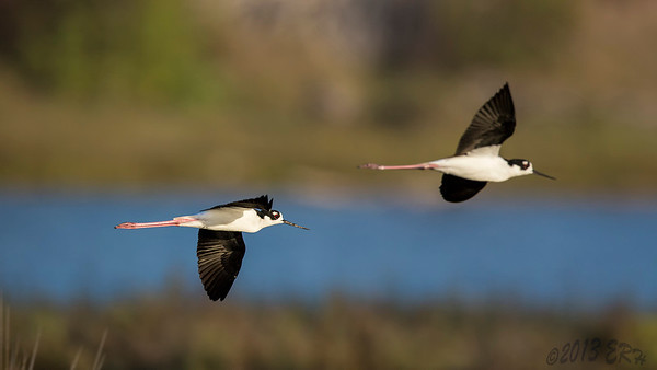 A pair of Black Necked Stilts flying across the slough.