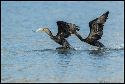 Double Crested Cormorant taking his fish and leaving.