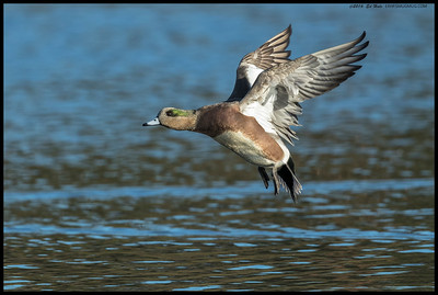 American Wigeon during one of the puddle jumper flights.