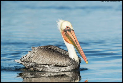 Brown Pelican decided to come in on the right side under some pretty awesome light.