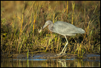 A drab looking Little Blue Heron nabbed a good sized crab.