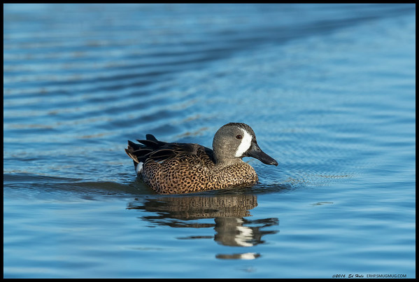 Blue Winged Teal made a sharp turn and headed back towards me.