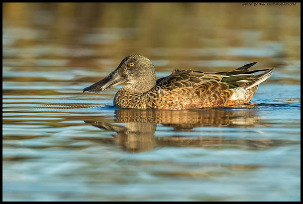 Male Northern Shoveler, sans color, drifted by while I was watching the Eared Grebes fish.