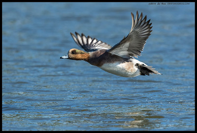 An American/Eurasian Hybrid Wigeon takes flight.