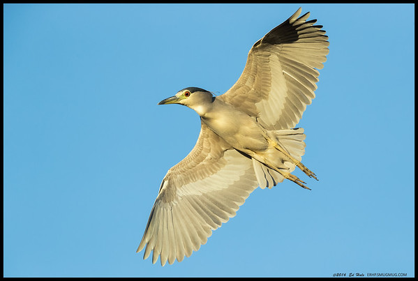 This Black Crowned Night Heron was pretty interested in the hardware being pointed in its direction as it searched for a suitable spot to land and catch some fish.