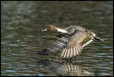 This Northern Pintail was nice enough to take off and fly right in front me.