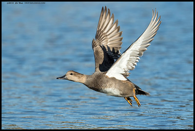 A male Gadwall taking flight.