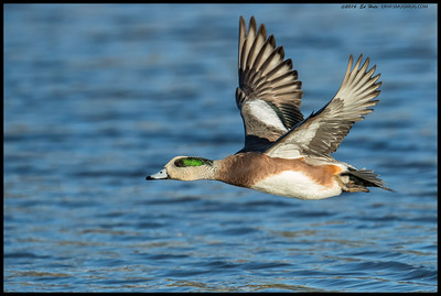 Some nice color on this American Wigeon as it went winging past me.