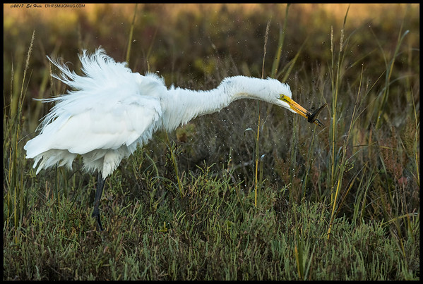 This Great Egret was giving the spin not only to its feathers but also its soon to snack.