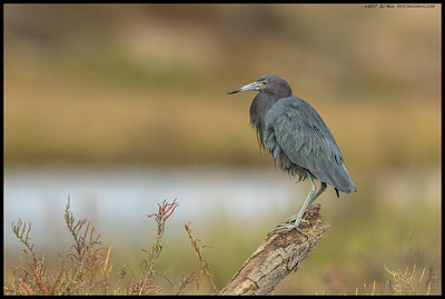This Little Blue Heron decided to perch up on one of dead trunks pushed around from the last winter.