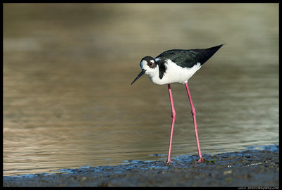 Almost eye level with a Black Necked Stilt.
