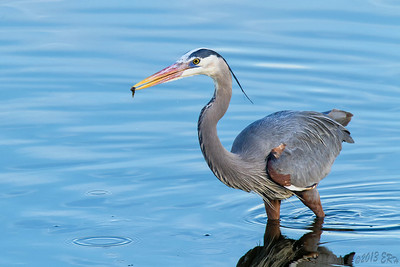 Great Blue Heron with a small snack.