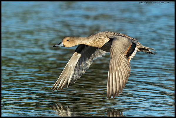 One of the trio of female Northern Pintails that came back a bit earlier than the rest.  Occasionally they will take off in the right direction.