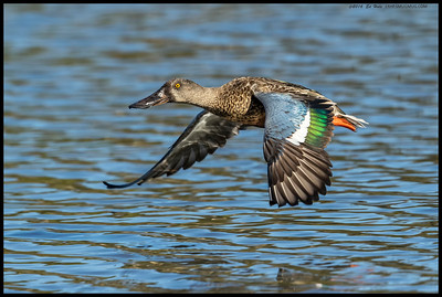 One of the newly arrived Northern Shoveler's at the slough.
