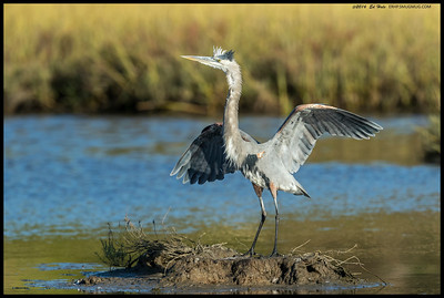Great Blue Heron spooked by something and going through a series of defensive Heron Fu moves.
