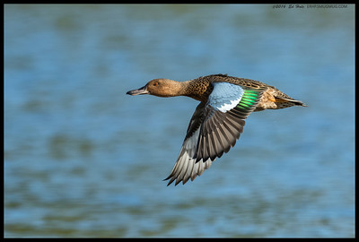 Cinnamon Teal, still a little lite in color, but still pretty distinctive.