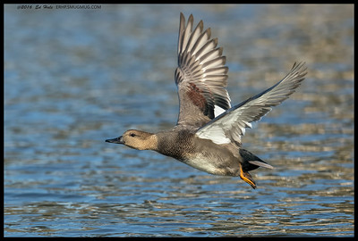 Drake Gadwall pushing for altitude.