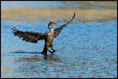 Double Crested Cormorant proving you can stand on your tail, kinda.