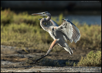 An adult Great Blue Heron landing after scaring off the juvenile Great Blue.