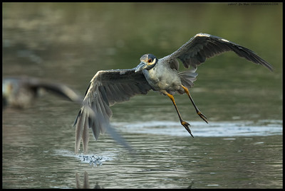 A nearly full adult Yellow Crowned Night Heron chases off one of the juveniles from the prime crabbing spot.