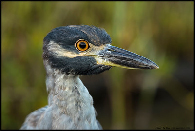 Hi?  Closeup of a sub adult Yellow Crowned Night Heron on break from a crabbing expedition.