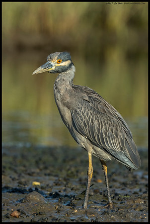 Sub Adult Yellow Crowned Night Heron looking back at me.